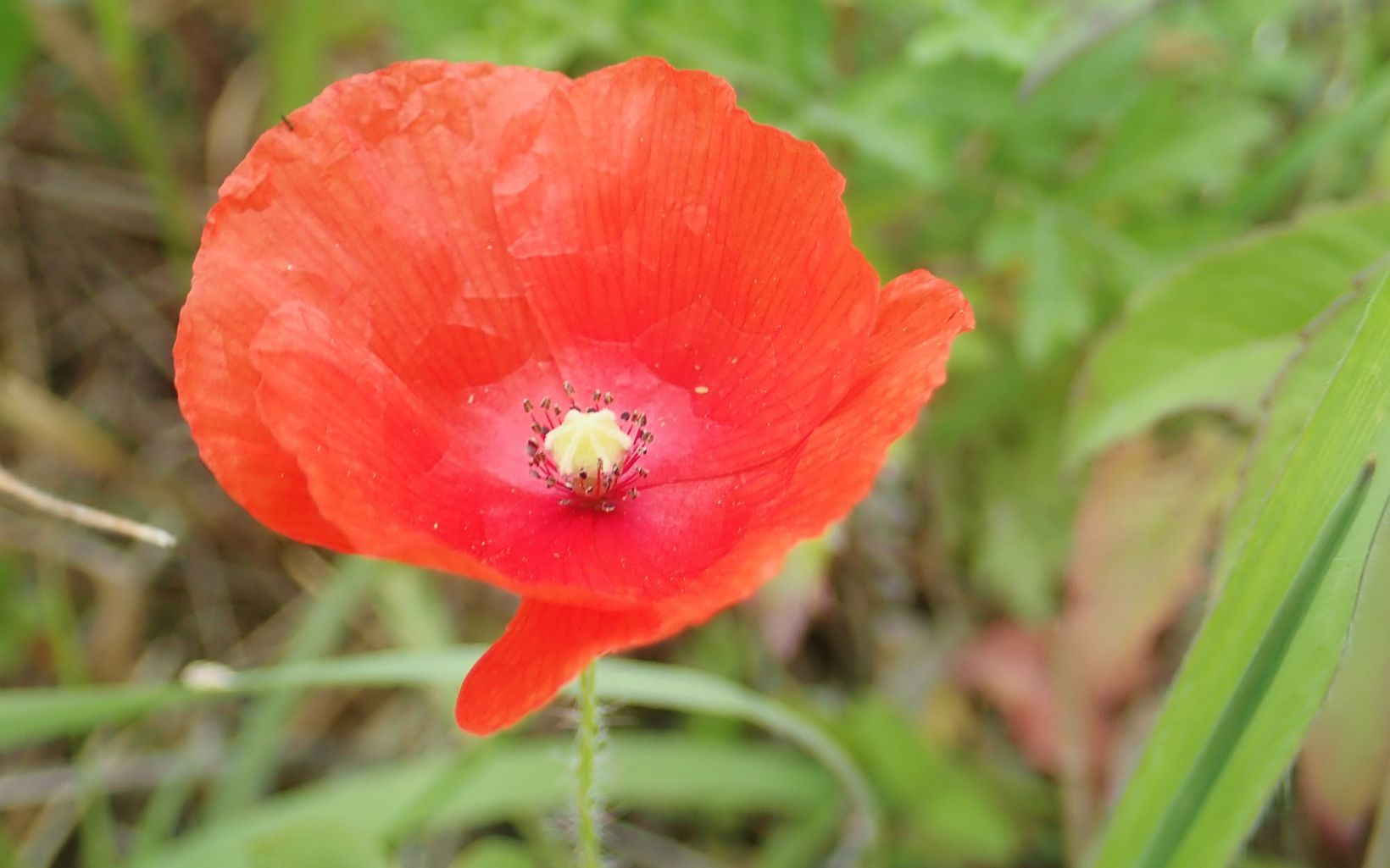 Closeup of a bright red poppy flower.