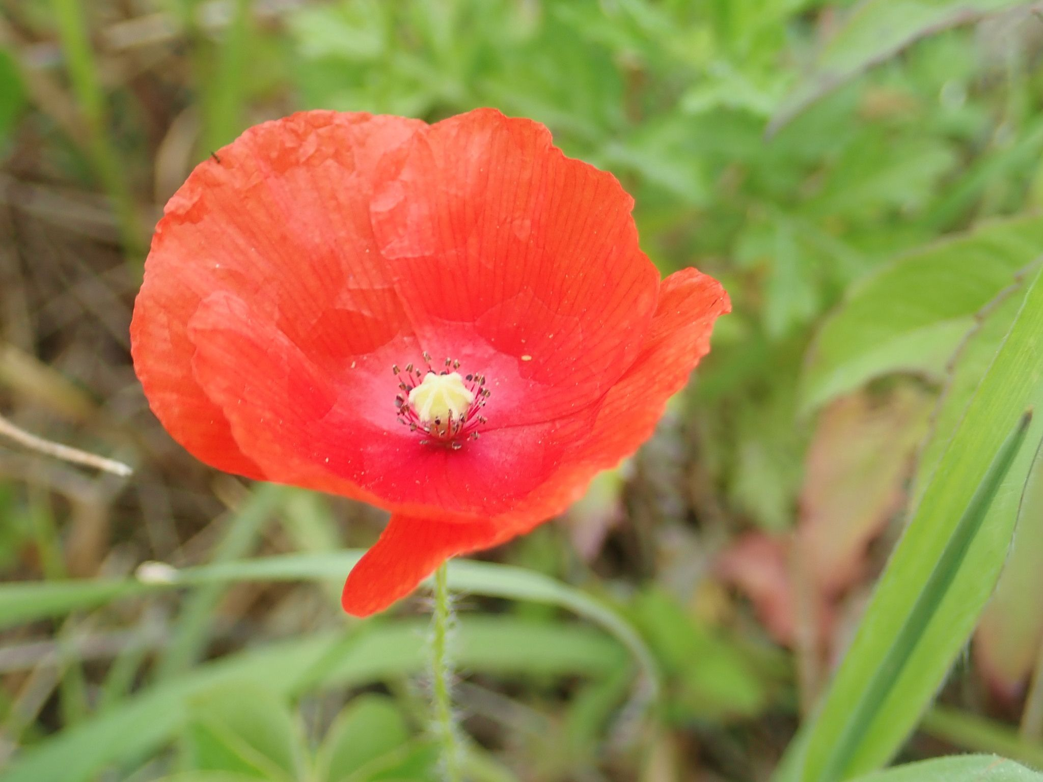 A single bright red-orange common poppy flower is surrounded by greenery.