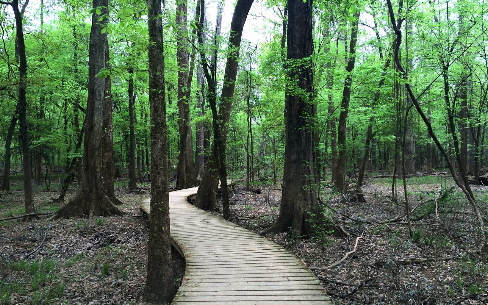 A boardwalk winds through the landscape of Congaree National Park.