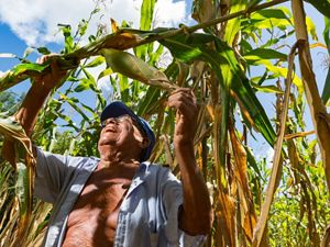 "79-year-old Dionisio Yam Moo checks on his corn in his ""milpa"" personal agricultural field, Mexico. He has adopted his own method of conservation agriculture planting beans high in nitrogen below his corn plants. The Nature Conservancy works with landowners, communities, and governments in Mexico to promote low-carbon rural development through the design and implementation of improved policy and practice in agriculture, ranching, and forestry. The Conservancy is leading the initiative, Mexico REDD+ Program in conjunction with the Rainforest Alliance, the Woods Hole Research Center, and Espacios Naturales y Desarrollo Sustentable."