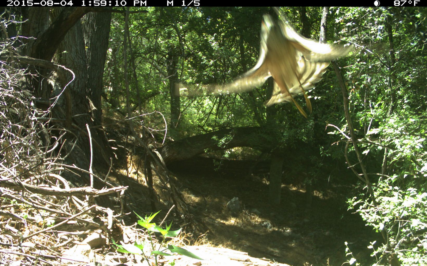 A cooper's hawk flies in front of the trail camera