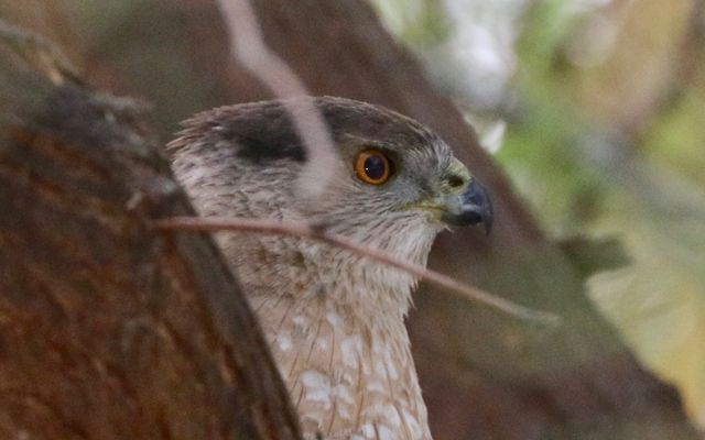 Adult Cooper's Hawk peering out from a tree branch.
