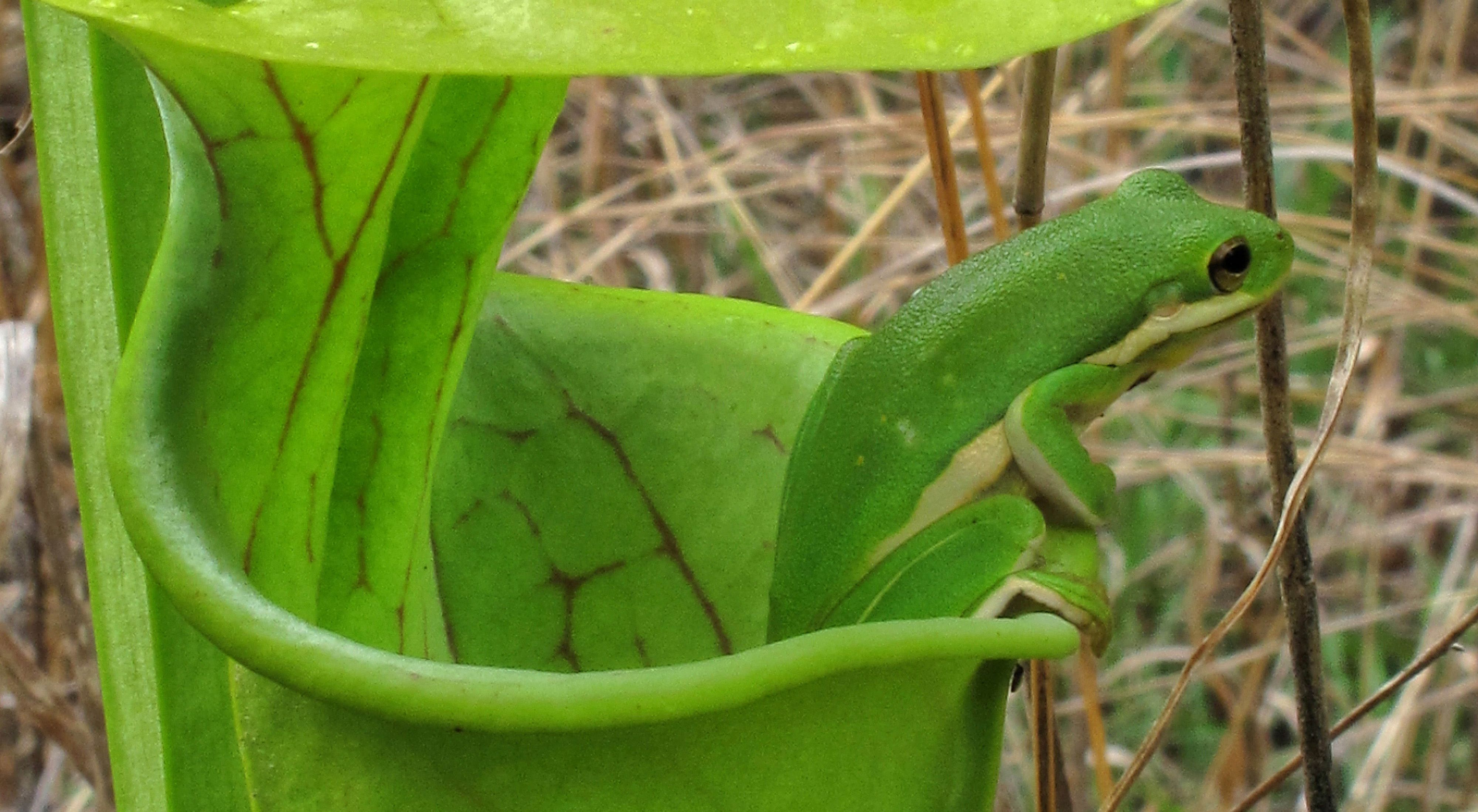 in a green pitcher plant (Sarracenia oreophila) at Coosa Bog Preserve, Alabama.