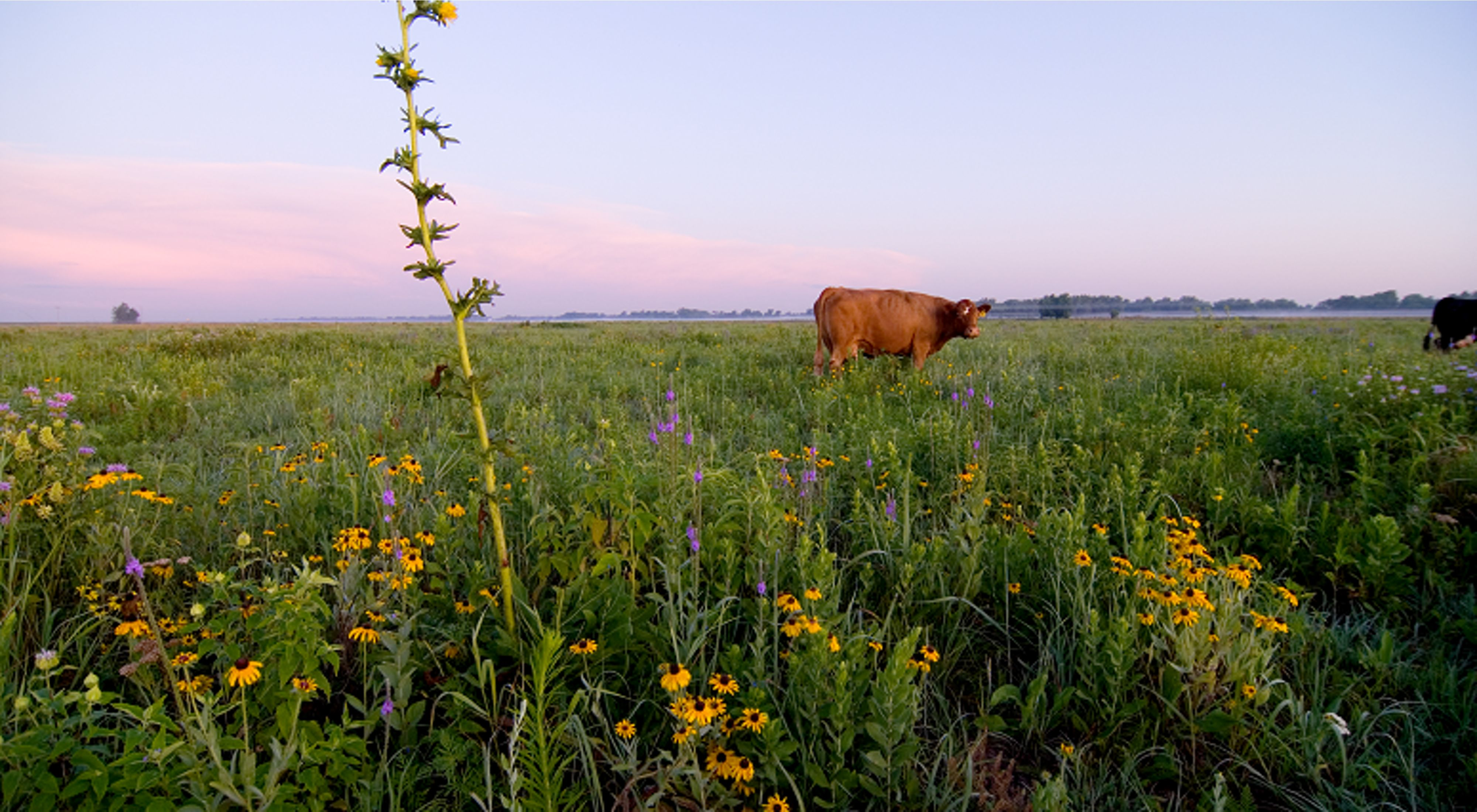 Large grazers are important to prairie health.