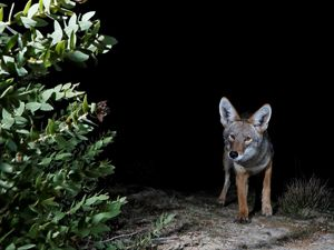 coyote-hunting-dangermond-preserve