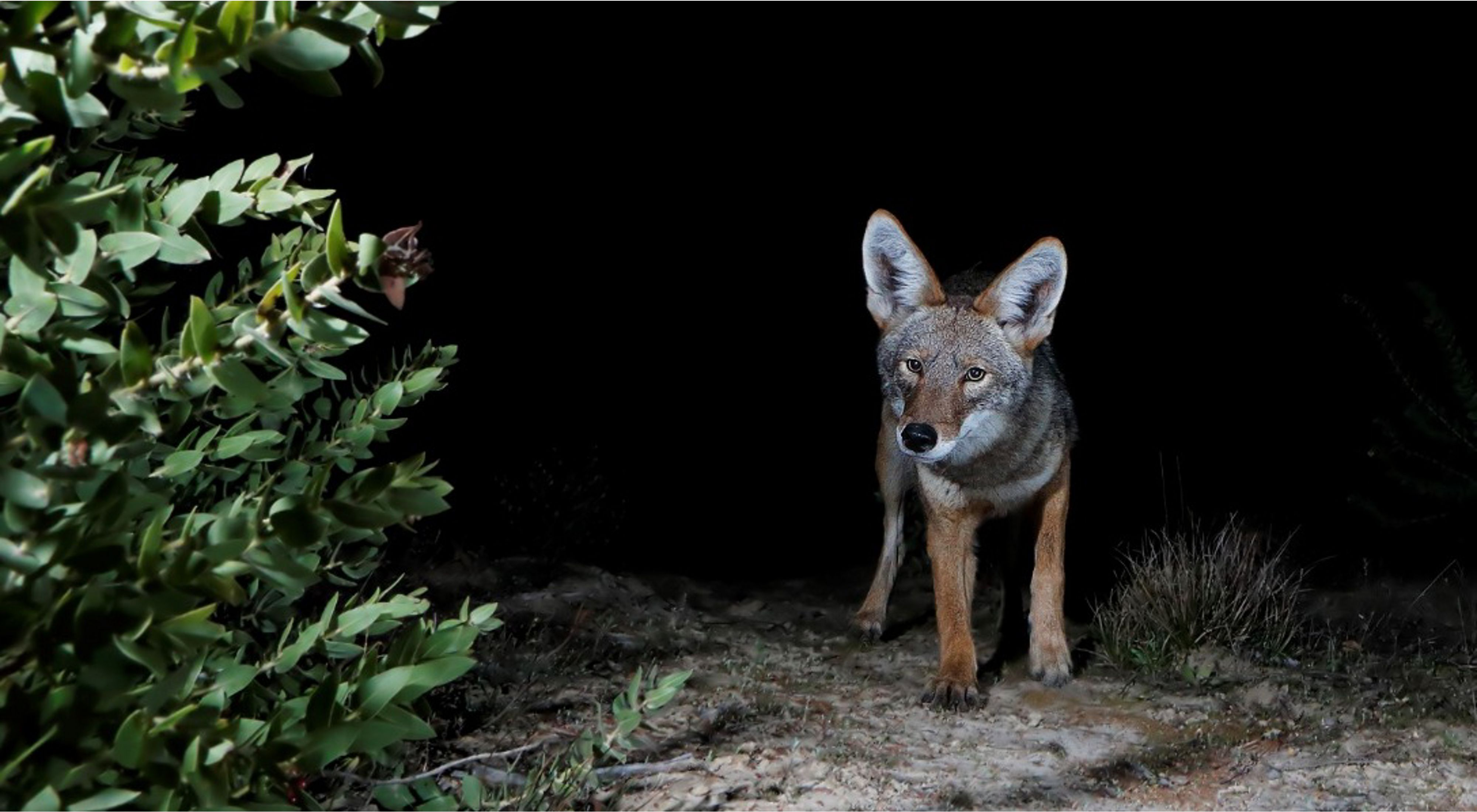 A coyote walks towards the camera on a sandy path in the dark.