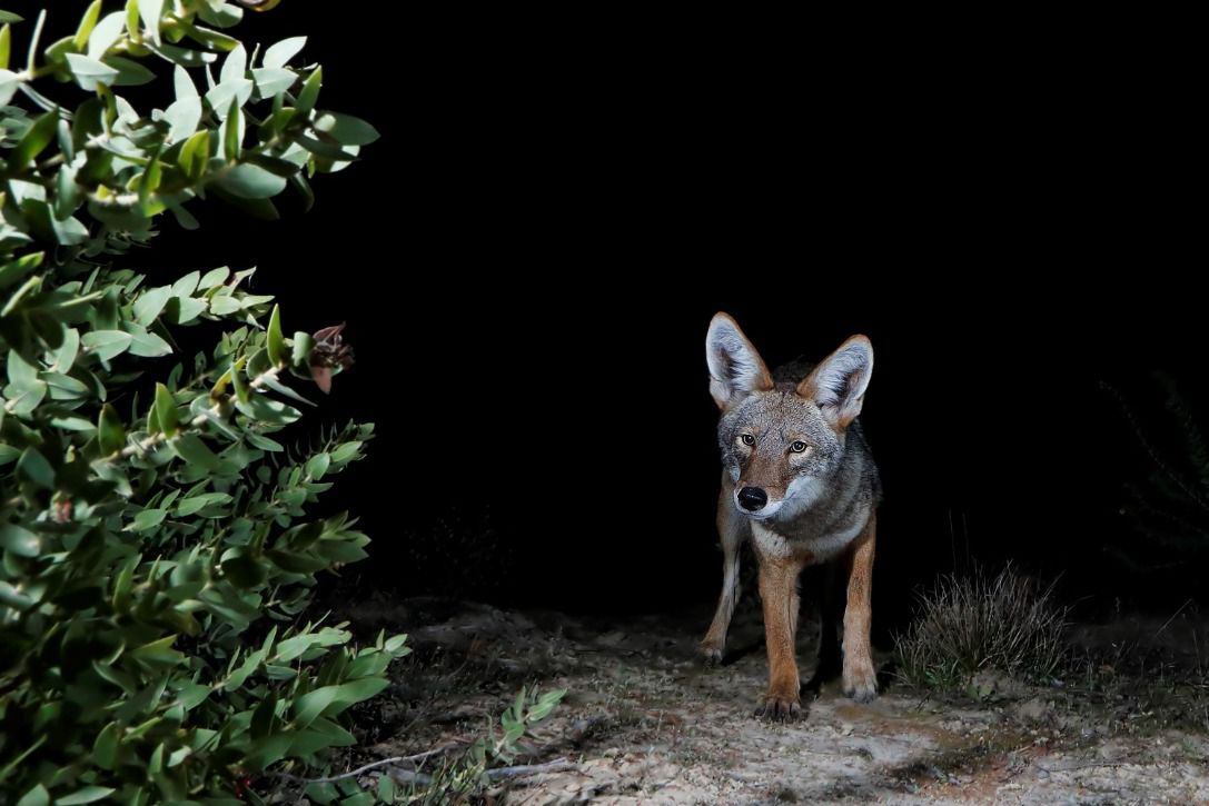 A coyote walks towards the camera along a sandy trail in the dark.