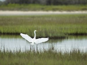 great egret at Powderhorn Ranch, Texas