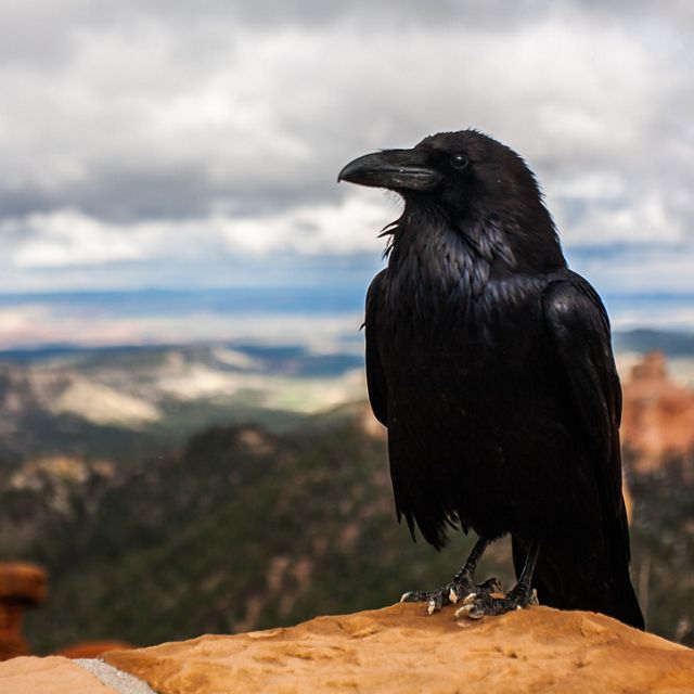 Crow perched on a mountain