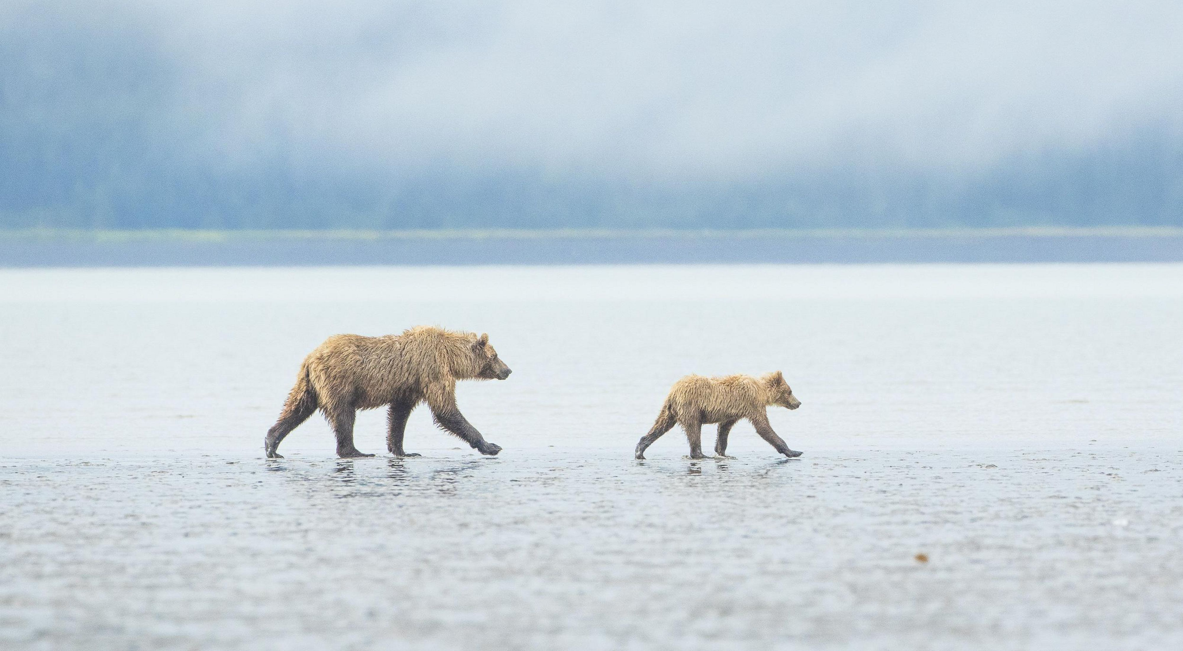 A brown bear and her cub walk stride for stride along a tidal mudflat. Lake Clark National Park, Alaska.
