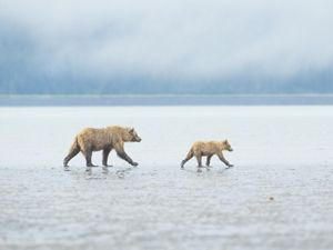 A mother and baby bear walk across a tidal mud flat.