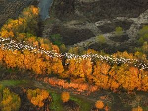 A group of snow geese migrate above a line of trees.