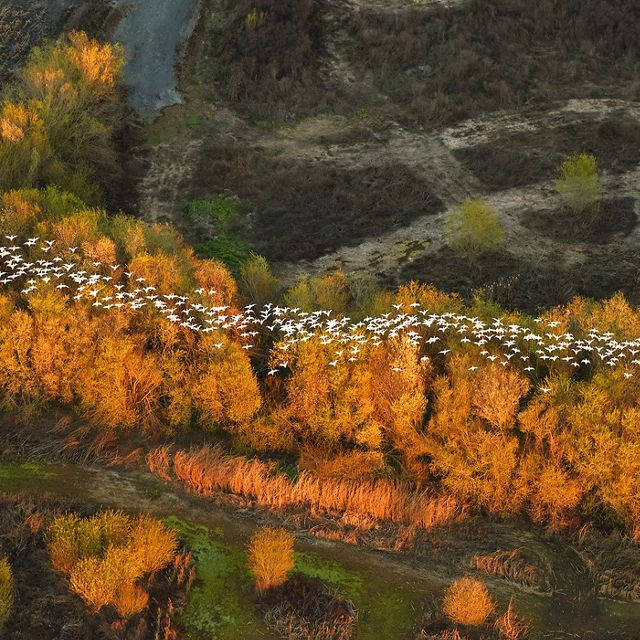 Migratory snow geese from above in California. Aerial image photographed from a plane.