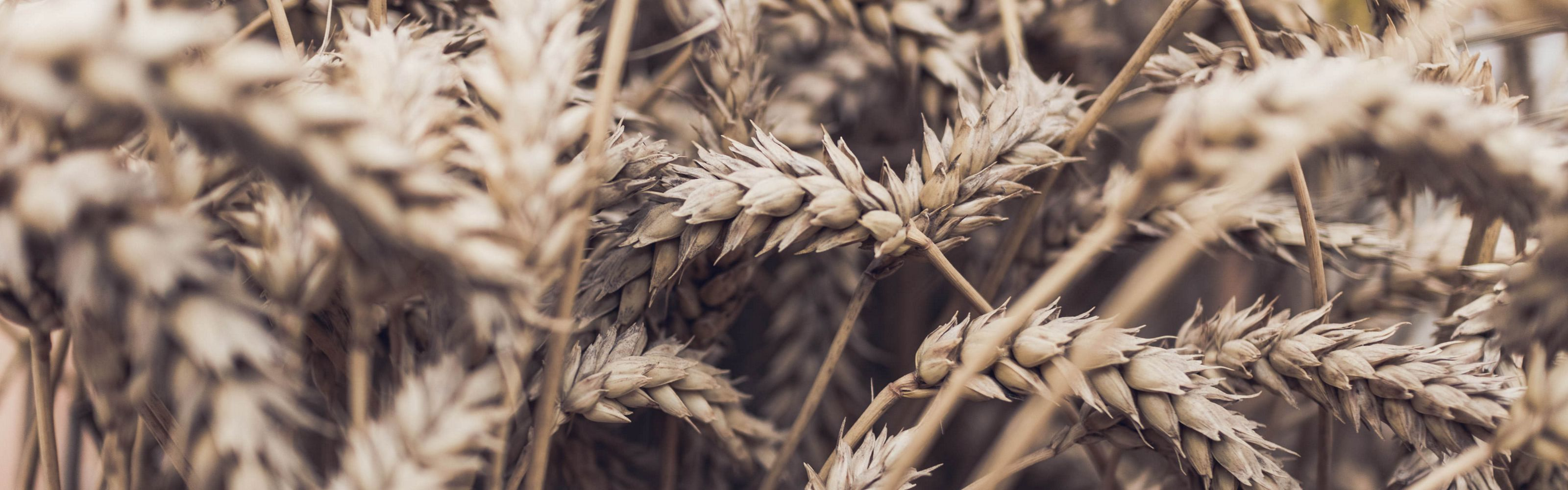 Close up view of wheat in a field