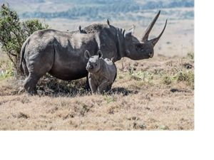 Black rhinos in Kenya
