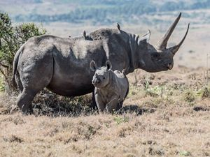 a mother and baby rhino