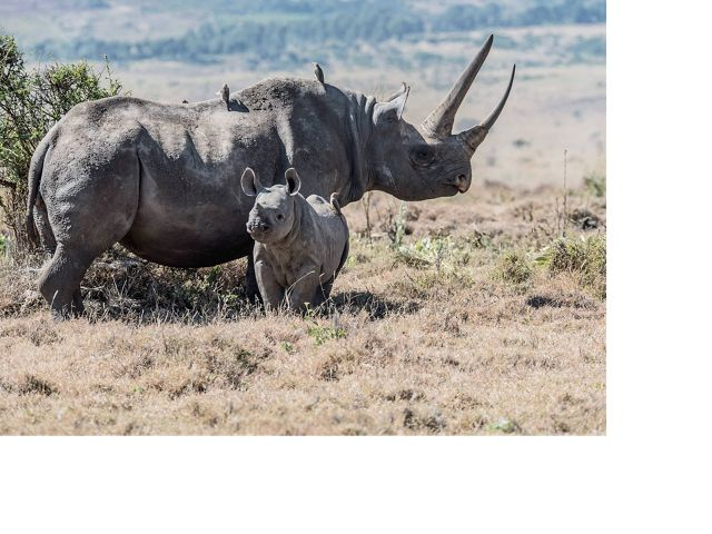 A mother and baby black rhino in Lewa Conservancy, Kenya.