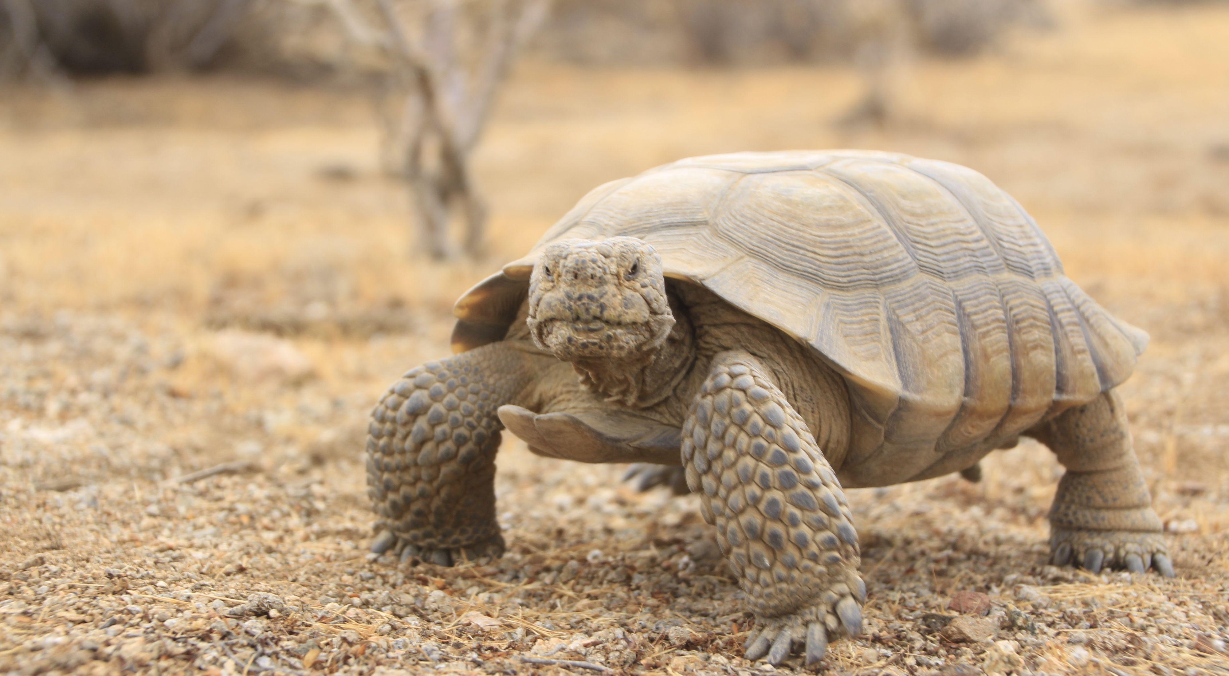 An adult desert tortoise stands in the desert.