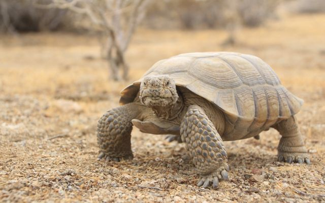 Desert tortoise standing on gravel and looking at the camera.