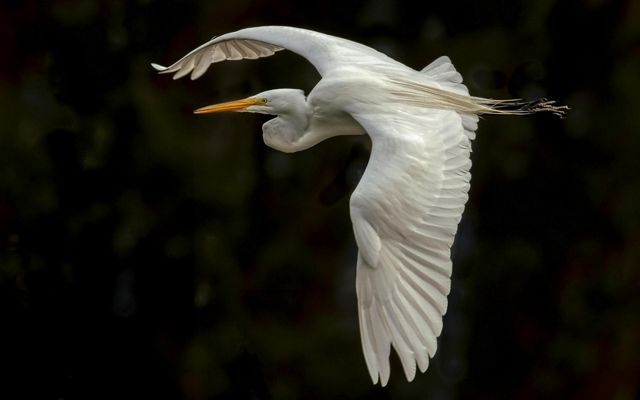 A Great Egret banks in preparation for a landing at Ellis Creek Wetlands in Petaluma, CA.