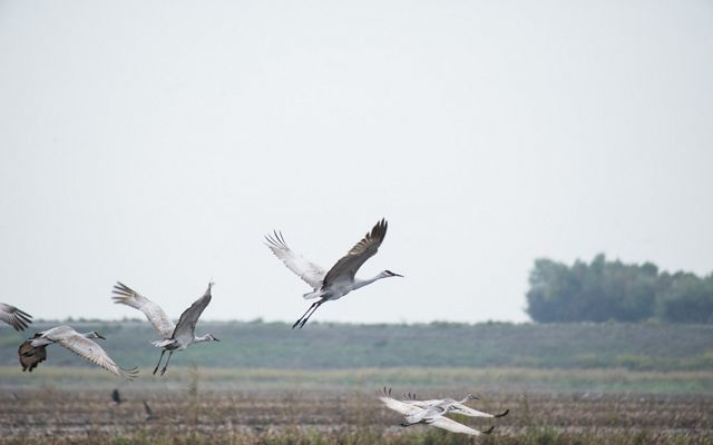 Five large white cranes flying over a field.