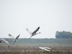 Sandhill cranes in the Central Valley.