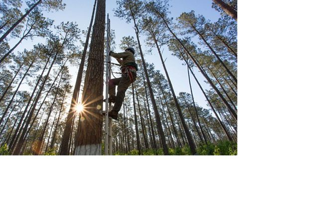 A man uses a ladder to climb a pine tree while the sun rises in the background.