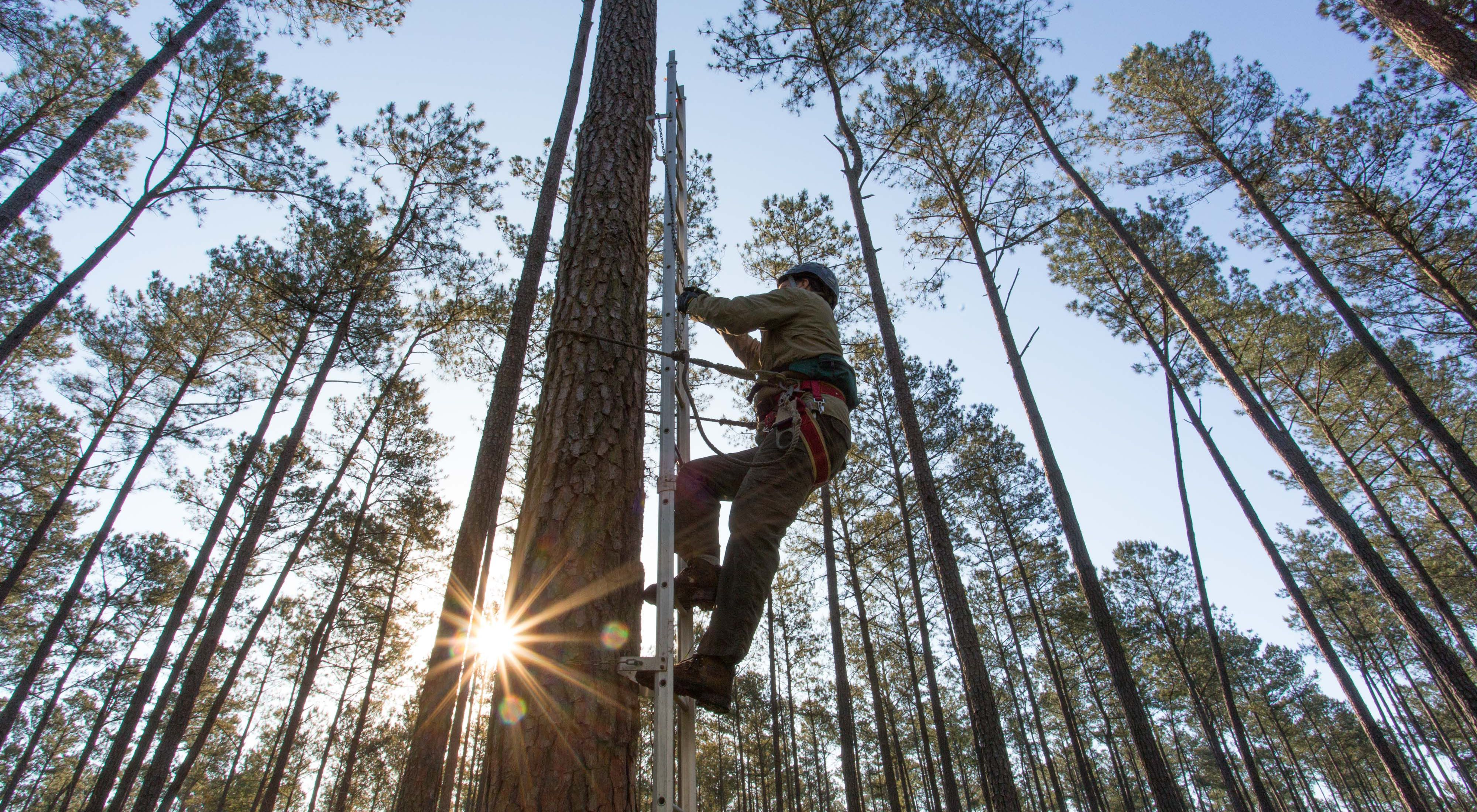 Dr. Byan Watts of the Center for Conservation Biology climbs a pine tree to band the first red-cockaded woodpeckers to be born on Big Woods WMA, May, 2019.