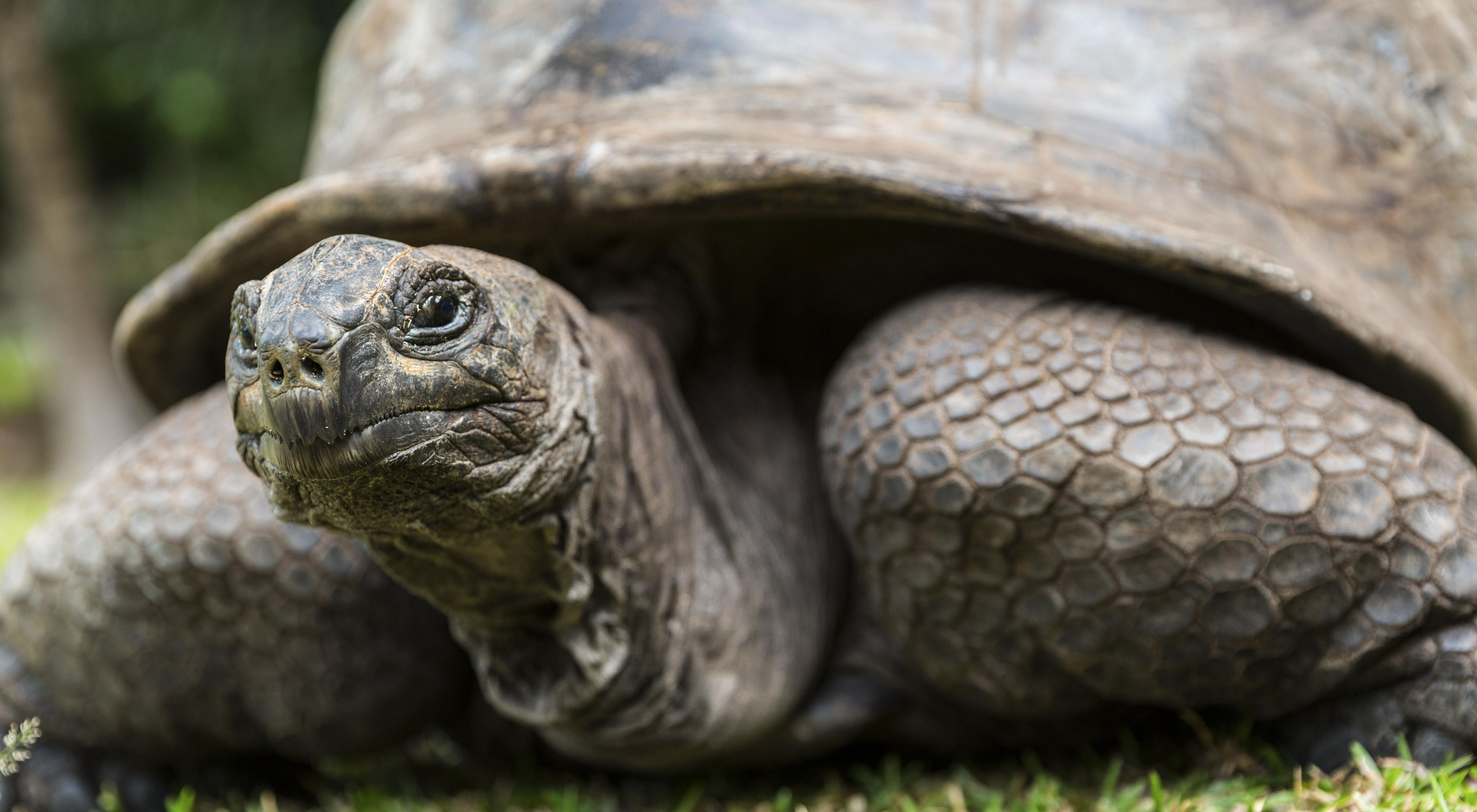 About 300 free roaming Aldabra giant tortoises (Aldabrachelys gigantea) live in Curieuse Marine National Park, Curieuse Island, Seychelles. They are second largest population in the world.