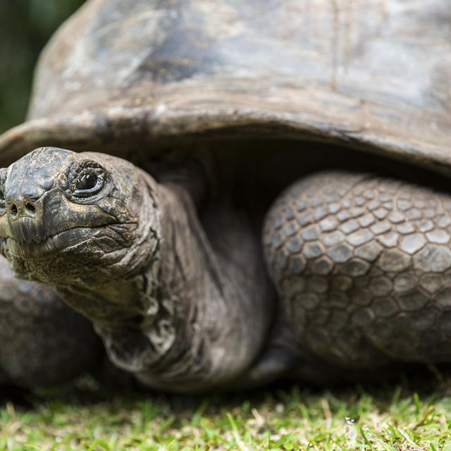 A giant Galapagos tortoise looks at the camera.