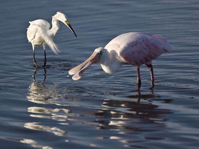 A snowy egret and a roseate spoonbill wade in shallow waters