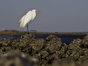 An egret stands on one of the 23,000 bags of oysters that line the edge of a mud flat on Mobile Bay in Alabama. Volunteers will spend the weekend moving the bags—each weighing approximately 10 pounds—across the mud flat at low tide in an assembly line fashion to create the foundation for oyster reefs to grow, ultimately protecting 1,000 feet of shoreline to help restore the Gulf of Mexico. During the course of this weekend event, volunteers will work alongside Conservancy scientists and partners to construct the first quarter-mile of oyster reef as part of the 100-1000: Restore Coastal Alabama project. Spearheaded by the Nature Conservancy, Alabama Coastal Foundation, Mobile Baykeeper and the Ocean Foundation, the 100-1000 project aims to build 100 miles of oyster reefs and grow 1,000 acres of marsh and sea grass.