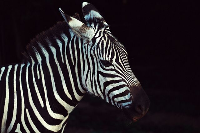 a young zebra against a black background