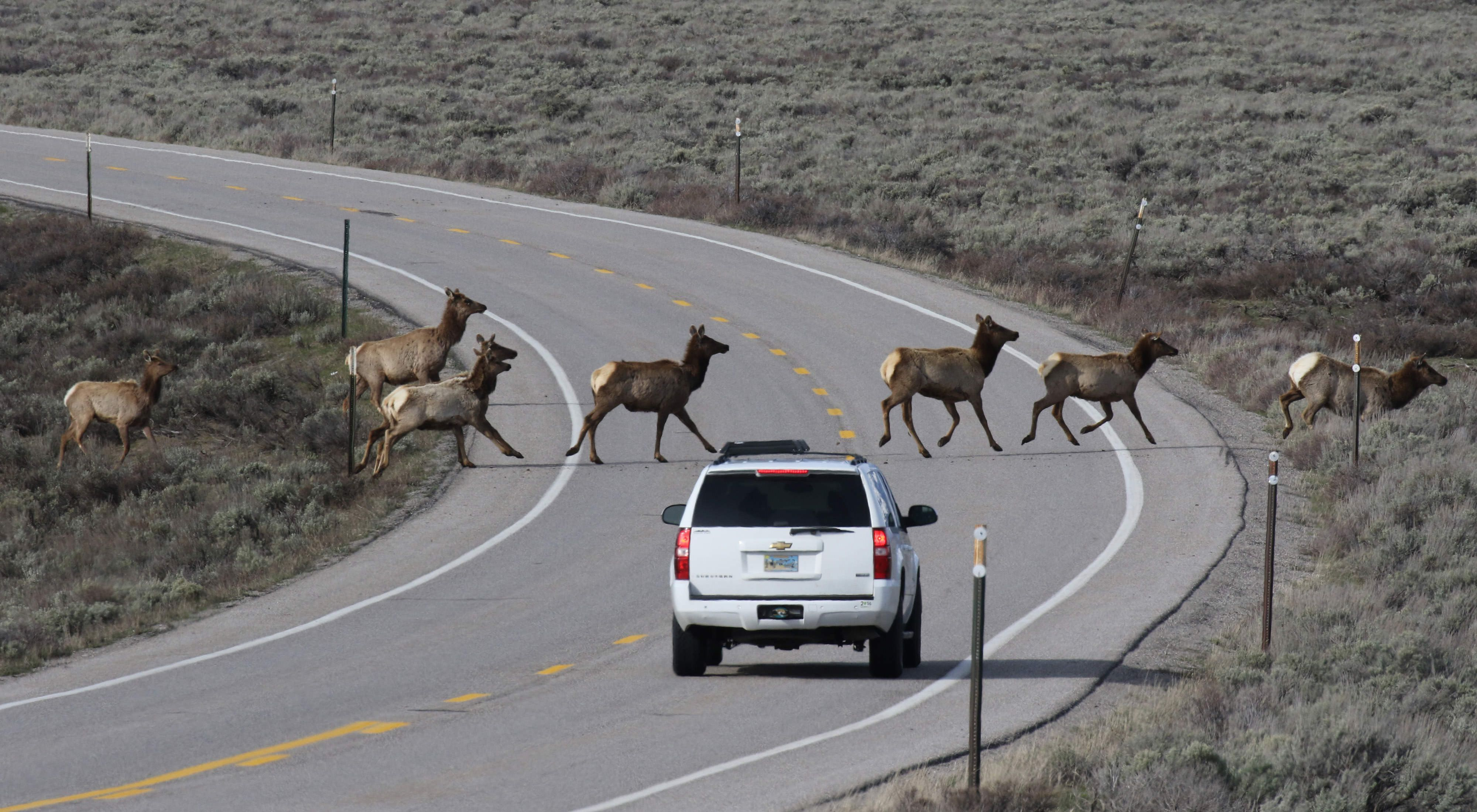 Elk crossing a road while a white SUV waits patiently.