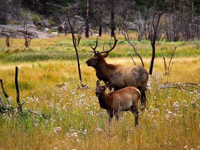 Elk in Rocky Mountain National Park in Colorado.