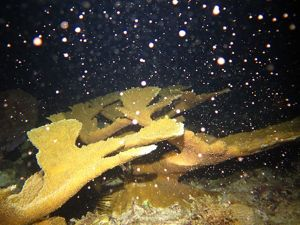 Elkhorn coral spawning in the U.S. Virgin Islands