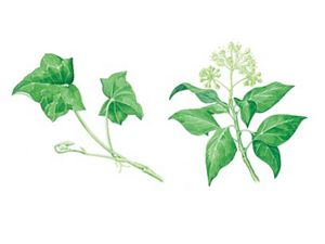 An illustration of English Ivy. The drawing on the left shows two green five-lobed leaves branching from a single stem. On the right, 5 green leaves are topped by a cluster of white blossoms.
