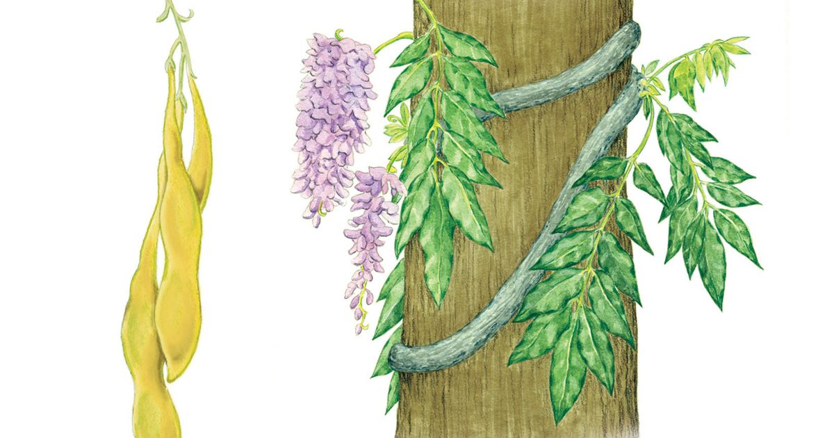 Exotic wisteria plant and seed pod illustration