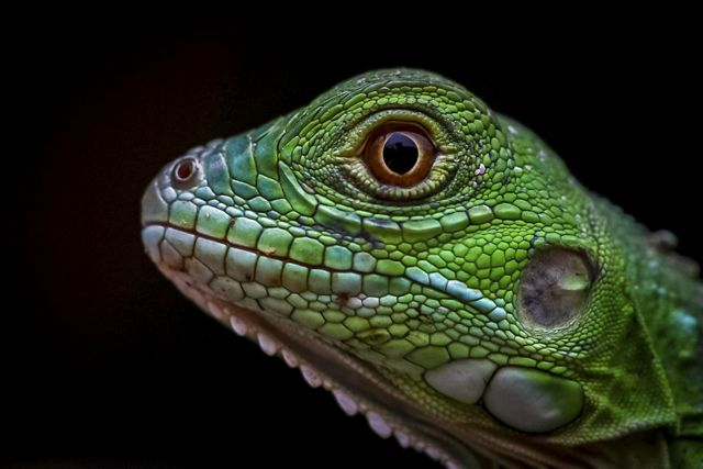 A close up of a green lizard's head against a black background