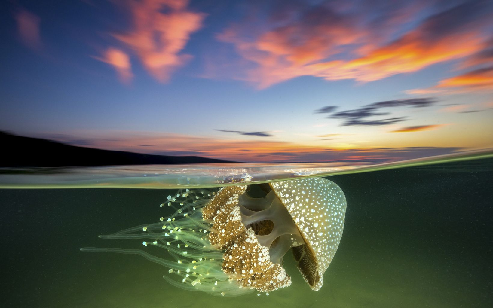 A White Spotted Jellyfish drifts effortlessly in the current as the sun sets over Jervis Bay.