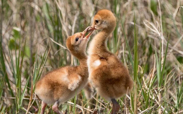 Two little, tan, fuzzy chicks in the grass. One chick is biting the other's beak.