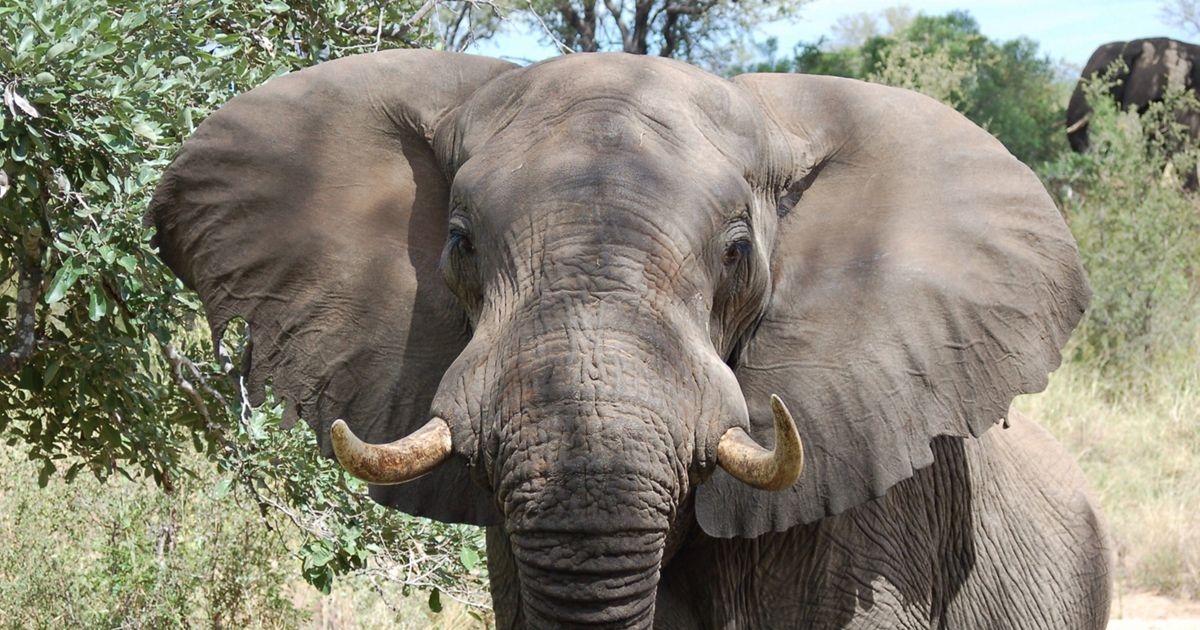 Elephant in South Africa.