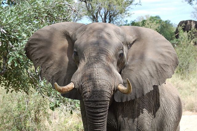 African elephant with ears spread out