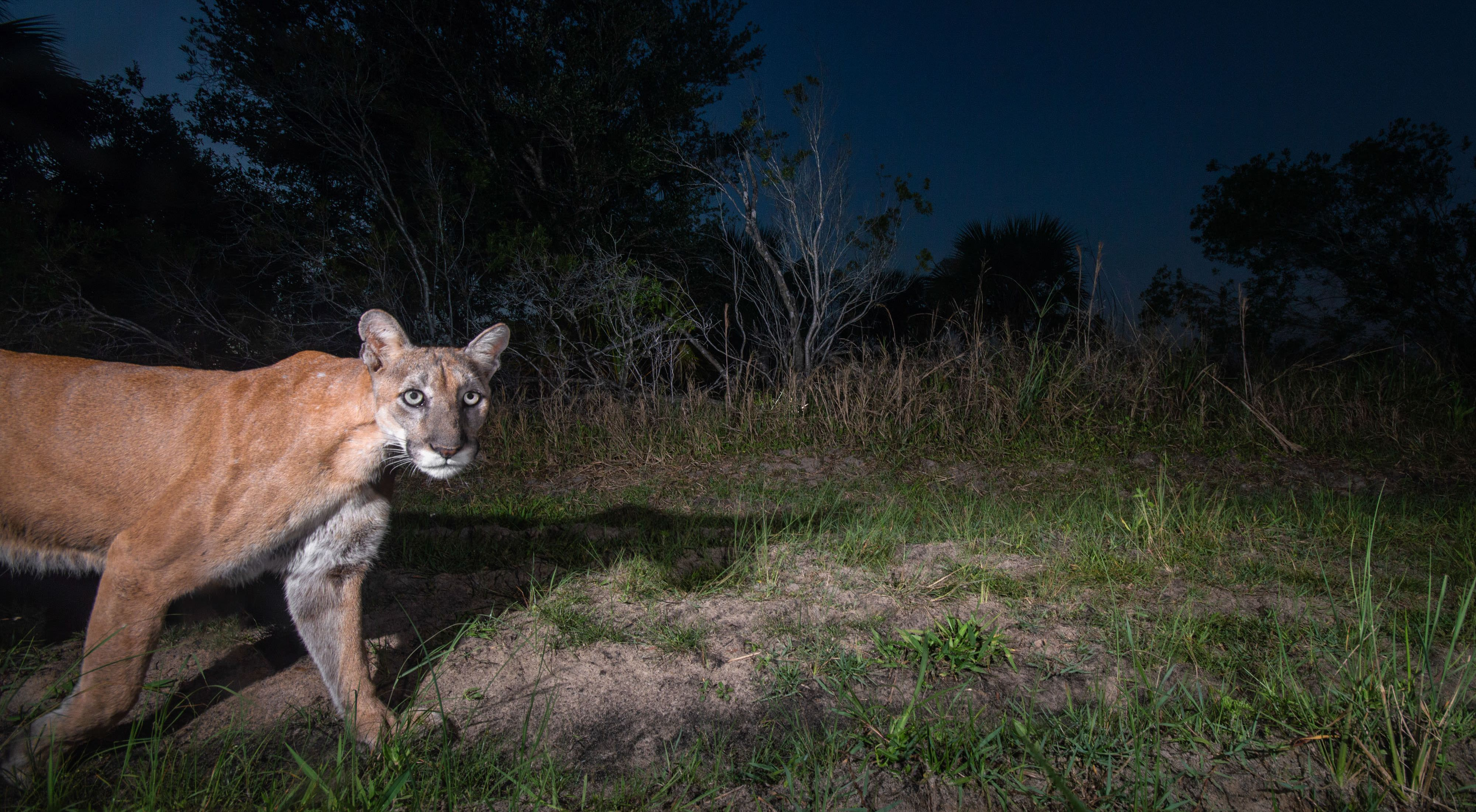 Camera-trap photo of a Florida panther walking in the forest.