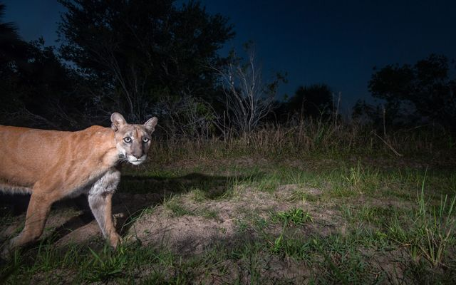 Florida panther roaming in the wild in Florida