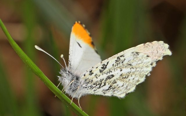 A close-up of a white butterfly with a fuzzy light gray body, white wings with gray mottling and orange tip.