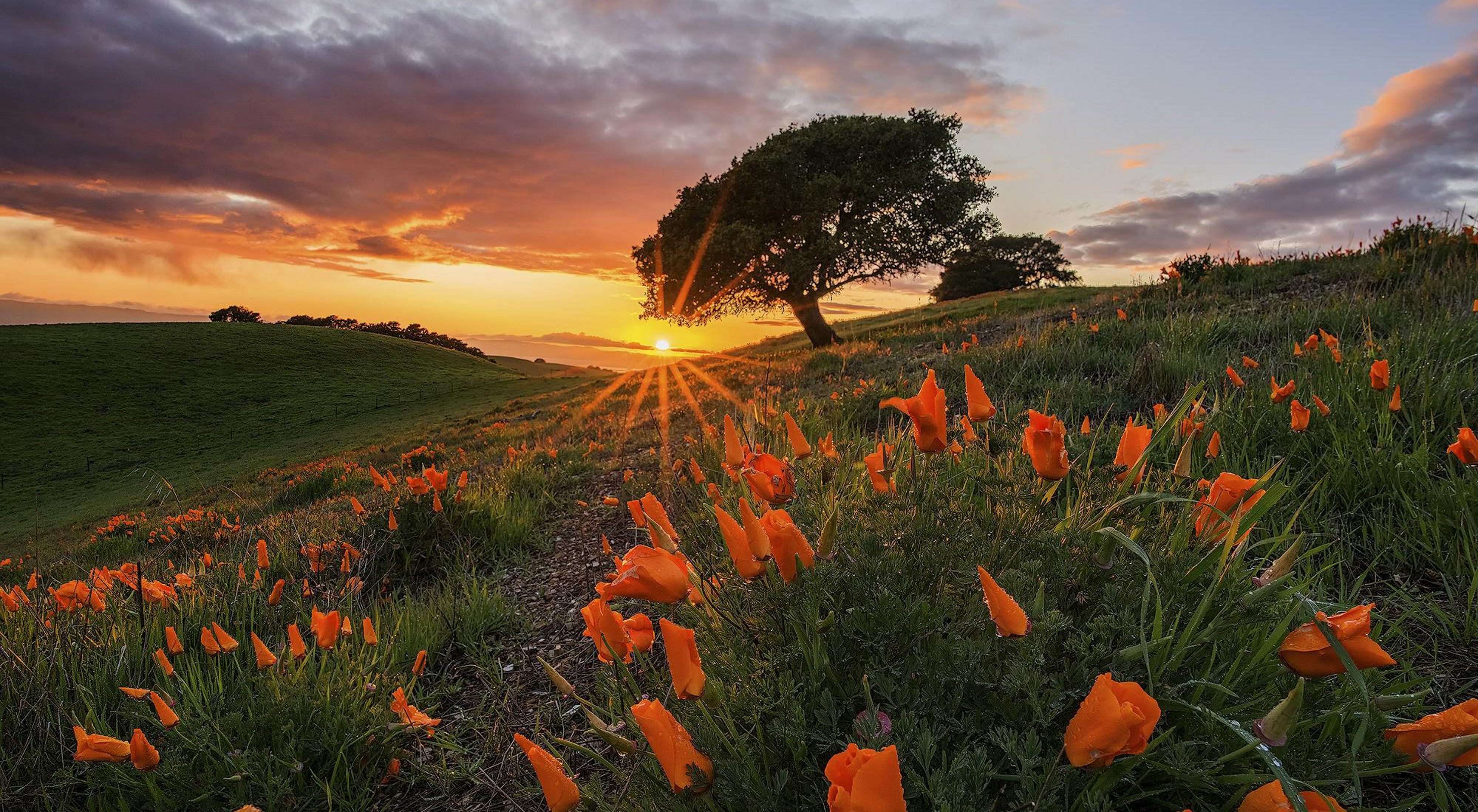 A sunset after a rain in california poppy covered hills.