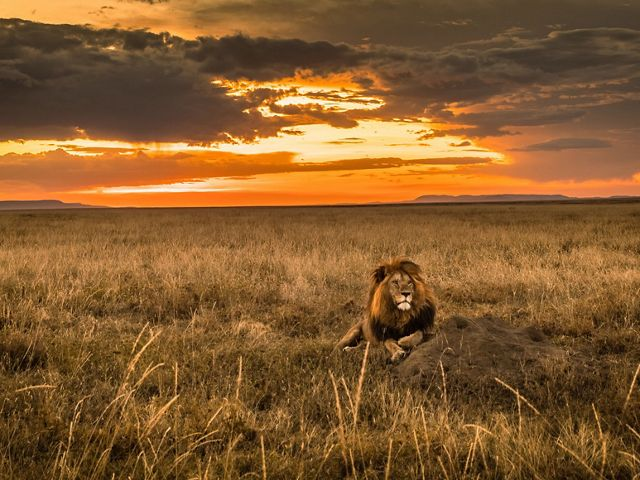 a wide shot of a single lion in a grassland with a colorful sunset in background