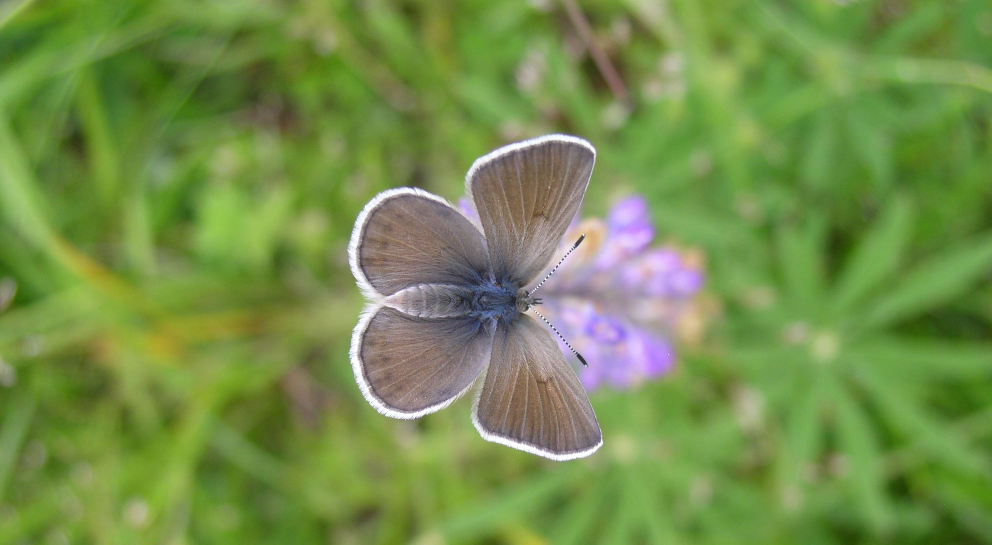 A Fender's Blue butterfly perched on a Kincaid's Lupine flower