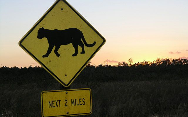 "Yellow road sign with the silhouette of a panther in black and text reading ""next 2 miles."""